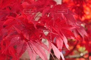 秋,紅葉,赤,景色,樹木,草木,メープル,カエデ,カエデの葉
