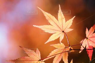 燃えるような朱。紅葉の葉の写真・画像素材[4082176]