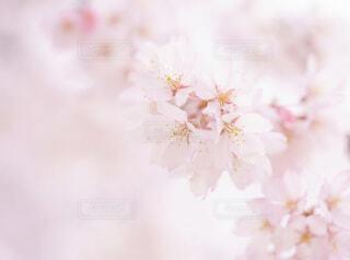 淡い桜の写真・画像素材[4270594]
