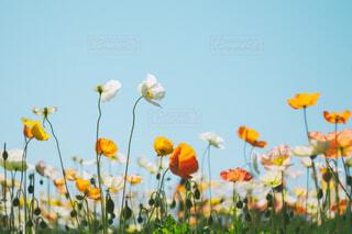 ポピー畑の写真・画像素材[4347229]