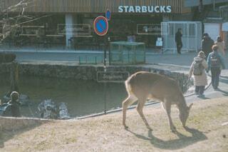 池の前を散歩する鹿の写真・画像素材[4438325]