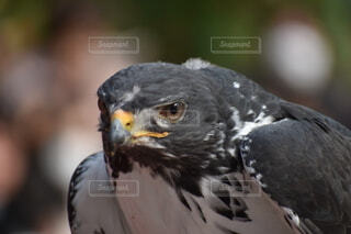 動物,鳥,屋外,鷹,猛禽類,タカ,富士花鳥園,ワシタカ科
