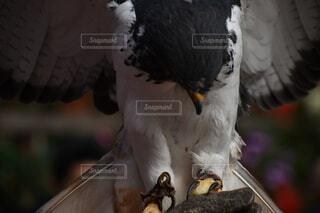 鳥,屋外,羽,鷹,猛禽類,富士花鳥園