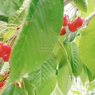 食べ物,春,夏,緑,光,果物,さくらんぼ,旅行,旅,未来,明るい,デート,草木,新しい,狩り