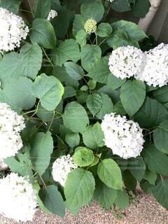 花,ガーデニング,草木,白い紫陽花