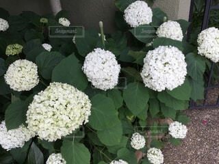 風景,白,花びら,紫陽花,草木,ガーデン,フローラ