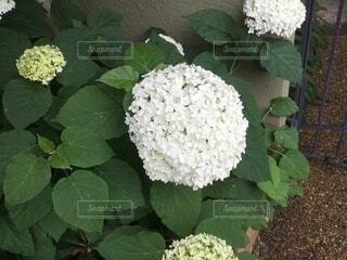 花,草木,ガーデン,白の紫陽花
