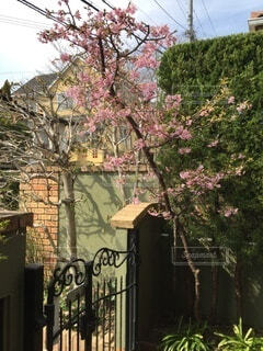 花,樹木,草木,桜の木,早咲き