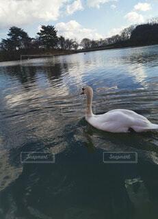 自然,動物,鳥,湖,綺麗,水面,美しい,スワン,水鳥,キレイ