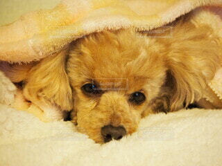 犬,動物,屋内,かわいい,茶色,ペット,寝る,毛布,サンドイッチ,子犬,睡眠,鼻,すやすや,わんちゃん,耳,寝そべる,ごろごろ