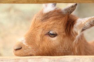 動物,屋外,かわいい,茶色,子供,隙間,立つ,赤ちゃん,こども,ヤギ,動物園,山羊,鼻,目,瞳,見つめる,あかちゃん,つぶら