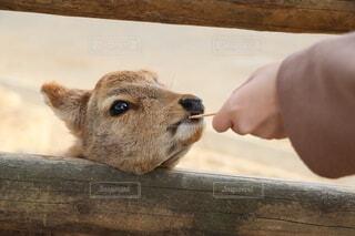 動物,屋外,せんべい,鹿,動物園,木目,つぶらな瞳,子鹿,しか,鹿せんべい,えさ,つぶらなひとみ