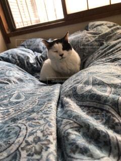猫,動物,屋内,景色,寝転ぶ,ベッド,猫 ベッド 寝転ぶ