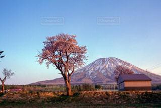 風景,桜,北海道,山,樹木,夕陽,羊蹄山,蝦夷富士