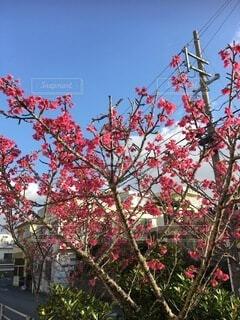 桜,沖縄,日本一早い桜