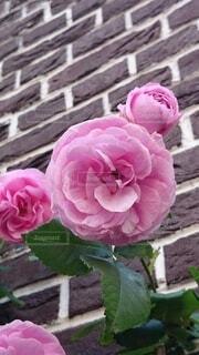 花,ピンク,バラ,花びら,草木,フロリバンダ,ハイブリッドティーローズ
