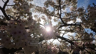 空,花,屋外,ピンク,花びら,樹木,草木,桜の花