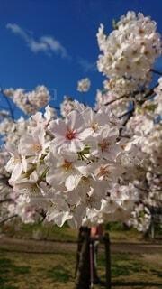 花,春,白,花びら,景観,桜の花,さくら,ブルーム,ブロッサム
