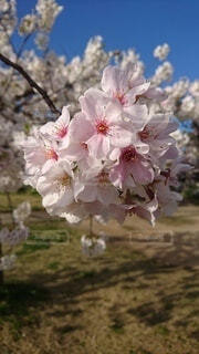 花,春,花びら,草木,桜の花,さくら,ブルーム,ブロッサム