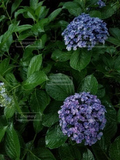 花,緑,あじさい,紫陽花,草木,アジサイ,ガーデン,フローラ