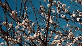風景,空,花,春,屋外,梅,枝,樹木,プラム,草木,小枝,腰掛け,ブロッサム,支店