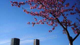 空,花,春,桜,ビル,屋外,季節,樹木,草木,早春
