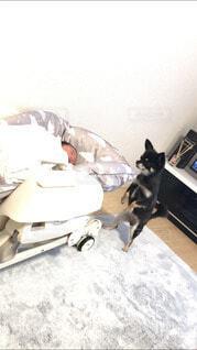 家族,犬,チワワ,かわいい,ペット,赤ちゃん,気になる,新しい