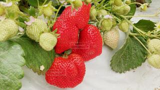フルーツ,果物,イチゴ,あまおう