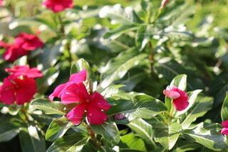 花,赤,花びら,草木,ガーデン,フローラ