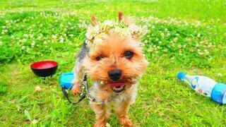 犬,動物,草原,お花,テリア