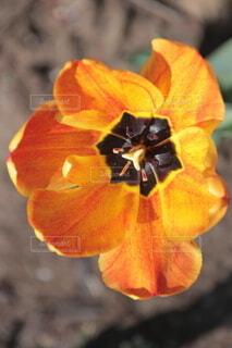 花,春,葉,景色,チューリップ,オレンジ,草木,ブルーム,フローラ,壁の花