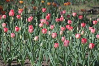 花,春,屋外,チューリップ,草木,配置,フローラ