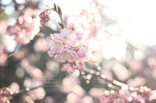 花,春,ピンク,花束,梅,キラキラ,草木,桜の花,きらきら,さくら,ブロッサム