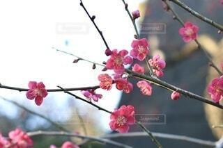 花,春,ピンク,赤,梅,枝,たくさん,草木,ブロッサム