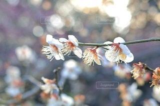 花,春,梅,ぼかし,樹木,キラキラ,草木,きらきら