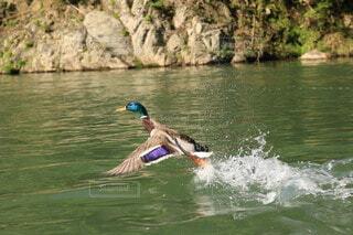 動物,鳥,屋外,湖,川,水面,飛ぶ,鴨,羽ばたき,カモ,飛翔