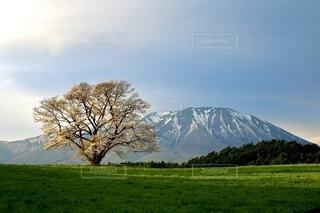空,春,桜,屋外,山,景色,草,樹木,小岩井,一本桜,岩手山,小岩井農場,岩手県,さくら