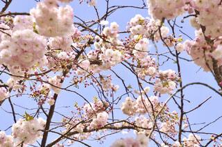 お花見の写真・画像素材[4230912]