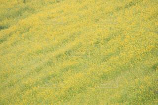 一面の菜の花の写真・画像素材[4247239]