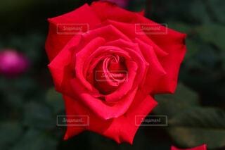 赤いバラの写真・画像素材[4311728]