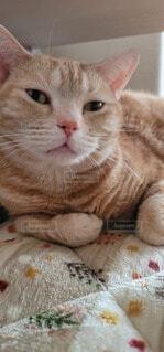猫,屋内,アメショ,甘えん坊,ネコ,流し目