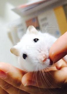 動物,ハムスター,屋内,白,指,ペット,ジャンガリアンハムスター,ホワイト,哺乳類,純粋,齧歯動物,ホワイトカラー,クリーミーライン,純真無垢