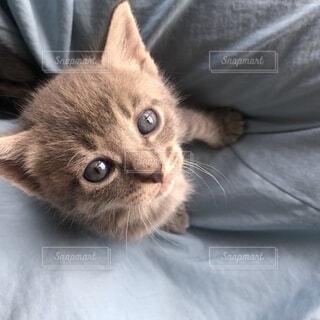 猫,動物,かわいい,ペット,子猫,上目遣い,おねだり,ネコ科