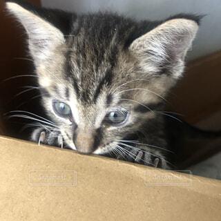 猫,動物,かわいい,ペット,子猫,グレー,ネコ科