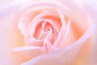 バラの花びらのクローズアップの写真・画像素材[4249083]