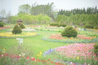 チューリップ畑のお庭の写真・画像素材[4339445]