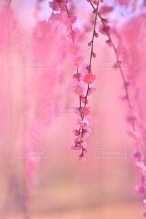 桃色にとけこむ梅の写真・画像素材[4384442]
