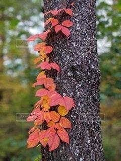 樹木の紅葉の写真・画像素材[4084518]