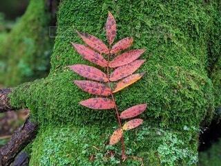 苔と紅葉の写真・画像素材[4098001]