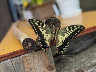 孵化したてのアゲハ蝶の写真・画像素材[4097999]